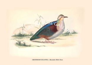 GEOTRYGON SYLVATICA - Mountain Witch Dove